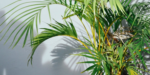 How to grow Areca Palm tree indoor
