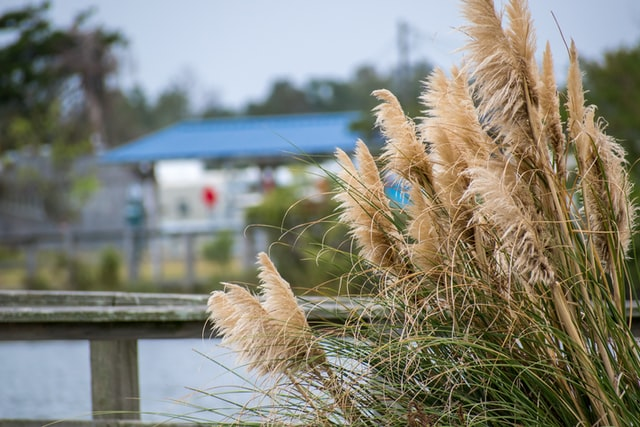 What do you need to know about Pampas Grass?
