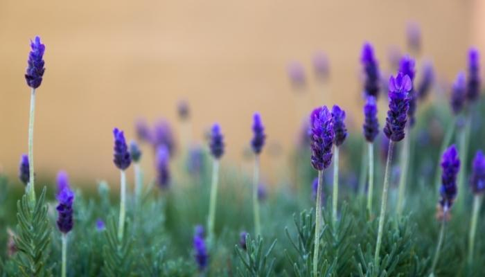 How To Take Care Of Indoor Lavender Plants