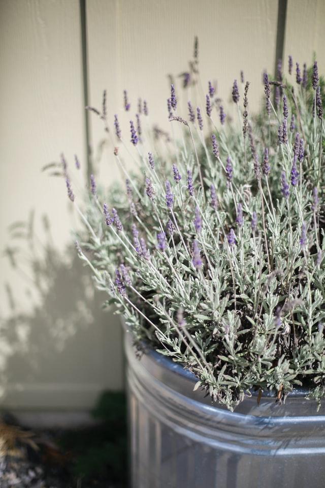 lavender-image