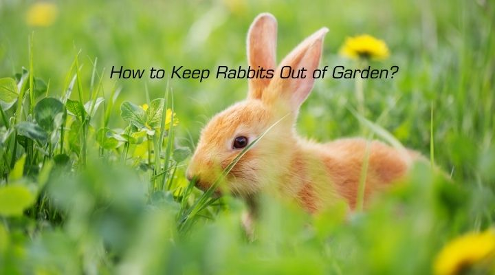 How to Keep Rabbits Out of Garden?