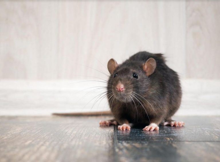 Rodent Control: What to Do When You Have Mice