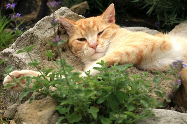 All You Need to Know About Catnip Plant