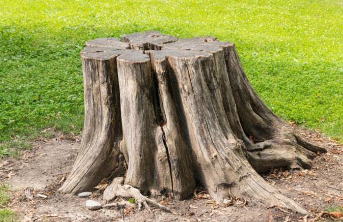 Tree Talks: Is It Better to Grind a Stump or Remove It?